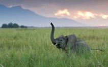 Khứu giác voi châu Phi nhạy nhất hành tinh