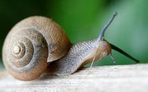 Không ăn ốc sên sống để ngừa viêm não