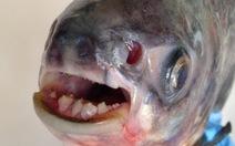 Cá ghê rợn ăn tinh hoàn xuất hiện ở Nga, Mỹ