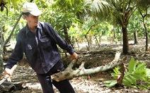 Nhà vườn Bến Tre chặt bỏ cây cacao