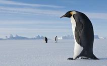 Chim cánh cụt cổ đại cao hơn cả con người