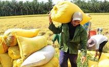 Thận trọng với giálúa gạo tăng