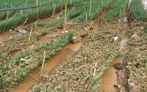 Mưa đá gây thiệt hại hàng chục ha rau hoa tại Lâm Đồng
