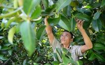 Cứu những vườn cây Lái Thiêu trăm tuổi