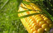 Từ 2015, Việt Nam sẽ sản xuất cây trồng biến đổi gen