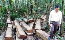 """Phát hiện """"vườn gỗ lậu"""" trong rừng"""