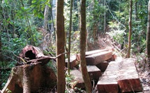 452 phách gỗ kiền kiền lậu dấu.. ngổn ngang rừng Cà Nhông