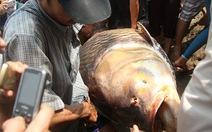 Ngư dân bắt được cá hô 128kg trên sông Đồng Nai