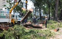 Đốn cây cổ thụ trên đường Tôn Đức Thắng