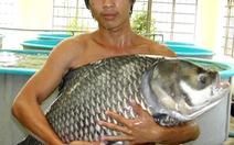 """Khá lên nhờ nuôi """"hàng độc"""" - Kỳ 4:Ô, nuôi cá hô"""