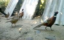Gà rừng, chim trĩ - làm chơi ăn thật