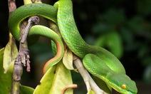 Hốt hoảng rắn lục đuôi đỏ tấn công khu dân cư