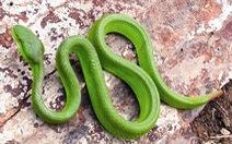 Tập trung cấp cứu, điều trị cho người bị rắn độc cắn