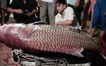 """Bắt cá hô """"khủng"""" 130kg trên sông Cổ Chiên"""