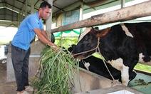 Đổ bỏ sữa vì nuôi bò tự phát