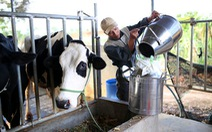 Đổ bỏ sữa do nuôi bò tự phát, không thể làm nông tù mù