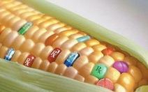 Công nhận thêm một giống bắp biến đổi gen