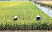 Hạt gạo xuất khẩu chịu 4 vòng xiềng xích
