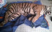Khởi tố vụ tàng trữ hổ đông lạnh nặng 140kg