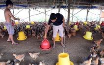 Giá gà tăng lên đến 70.000-100.000 đồng/kg