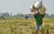 Dân bán lúa tươi cho thương lái ngay tại ruộng