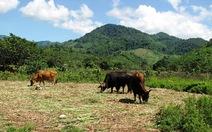 Bò tót đực duy nhất ở Ninh Thuận đã chết