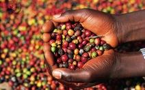 Cần tái canh hơn 100.000 ha cà phê