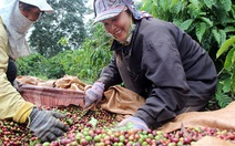 Người trồng cà phê Việt hái quả xanh nên chất lượng thấp
