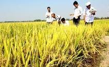 Ngân hàng sẽ gỡ khó cho doanh nghiệp mua lúa?