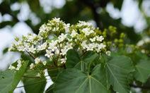 Tháng 3 - mùa hoa trẩu