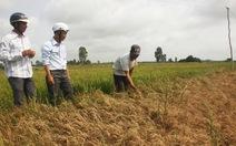 Lúa chết do nhiễm mặn, nông dân mất hàng chục tỉ đồng
