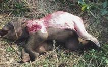 Voi rừng chết trong tình trạng bị lột da, cắt chân