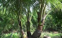"""Dừa không còn là cây """"xóa đói giảm nghèo""""?"""