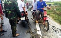 Bắt cá sấu ngay trên quốc lộ 1