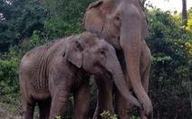 Clip xúc động mẹ con voi quấn quýt sau 3 năm xa cách