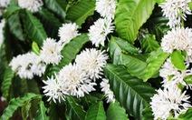 Đắm say mùa hoa cà phê Buôn Ma Thuột