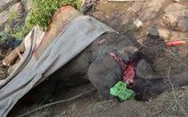 Thêm một con voi Đắk Lắk chết vì kiệt sức