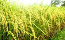 Thúc đẩy sản xuất giống lúa lai