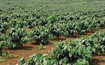 Gỡ nút thắt tín dụng cho tái canh cây cà phê