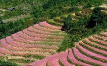 Hà Giang sẽ tổ chức lễ hội hoa tam giác mạch