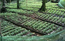 Thành lập vườn sâm gốc tại xã Trà Linh, Quảng Nam