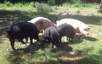 Lào cấm nhập lợn và thịt lợn để bảo vệ thị trường trong nước