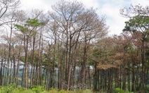 Bắt khẩn cấp người nghi đầu độc 684 cây thông rừng