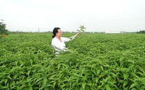 Nuôi trồng và sản xuất cây hoàn ngọc theo tiêu chuẩn ISO 22000: 2005 của TUV