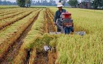 Sản lượng lúa vụ Đông Xuân giảm hơn 150.000 tấn