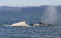 Cá voi lưng gù trắng cựchiếm xuất hiện ởNew Zealand