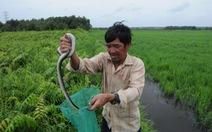 Săn rắn độc ở... Sài Gòn
