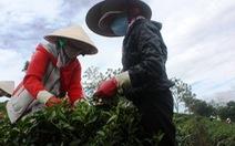 Đài Loan công nhận chè oolong Lâm Đồng đạt chuẩn