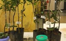 Nhiều cây mắc cara quả rất kém