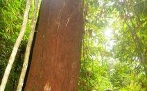 Quần thể 725 cây pơmu là cây di sản